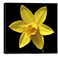 Daffodil Flower Head