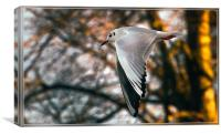 Black Headed Gull in winter Plumage, in flight, Canvas Print