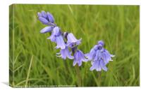 Bluebells in Warwickshire