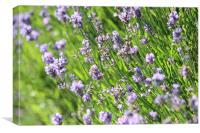 Lavender in Warwick