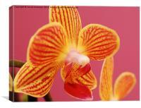 Mini Orchid, Canvas Print
