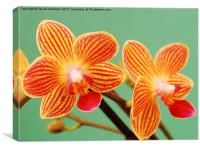 A Pair of Mini Orchids, Canvas Print