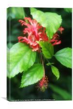 Hibiscus rosa-sinensis, Canvas Print