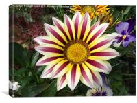 Gazania Flower, Canvas Print