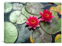 LIly and pads. Nelumbonaceae, Canvas Print