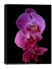 Phalaenopsis purple Orchids on black background., Canvas Print