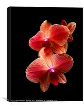 Pink  Orchids on black background, Canvas Print