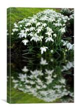 Snowdrops in reflection, Canvas Print