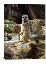 Meerkat - The Poser Canvases & Prints