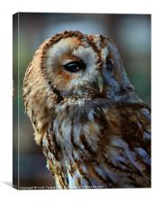 Tawny Owl - Strix Aluco Canvas & Prints