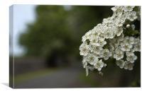 Hawthorn Blossom, Canvas Print