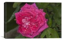 Pink Rose, Dawn Cussons Raindrops, Canvas Print