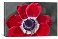 Red and White Poppy, Canvas Print