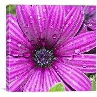 Purple Osteospermum, Canvas Print