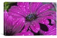 Purple Osteospermum 5, Canvas Print