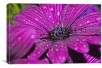 Purple Osteospermum 6, Canvas Print