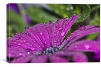 Purple Osteospermum 7, Canvas Print