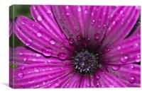 Purple Osteospermum 8, Canvas Print