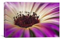 Mesembryanthemum 4, Canvas Print