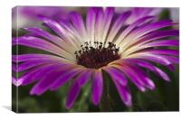 Mesembryanthemum 5, Canvas Print