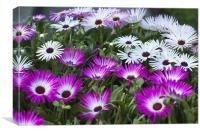 Mesembryanthemum, Canvas Print