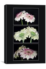 Pink and White Gerbera Triptych, Canvas Print