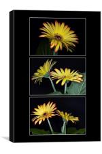 Yellow And Orange Gerbera Triptych, Canvas Print