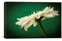 Leucanthemum Highland White Dream 2, Canvas Print