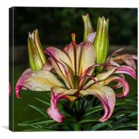 Lily In The Rain, Canvas Print