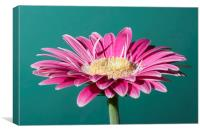 Pink Gerbera On Green, Canvas Print