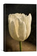 White Tulip With Texture, Canvas Print