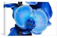 Blue Orchid 1 Texture, Canvas Print