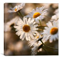 Summer Daisy, Canvas Print