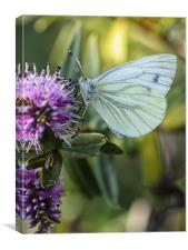 Green veined butterfly, Canvas Print