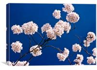 Cherry Tree in blossom, Canvas Print