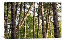 Pine tree trunks, Canvas Print