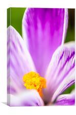 Crocus Flower, Canvas Print