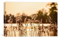 Sunshine Reeds, Canvas Print