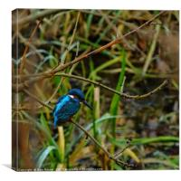 Perched Kingfisher, Canvas Print