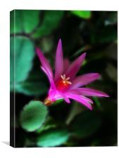 Christmas Cactus Flower, Canvas Print