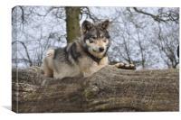 Reclining Wolf, Canvas Print