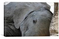 Sleeping Baby Elephant, Canvas Print