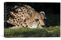 Resting Cheetah, Canvas Print