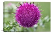 musk thistle, Canvas Print