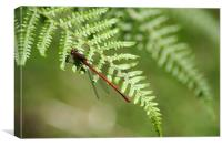 red damselfly, Canvas Print