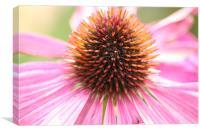 Robert Bloom,, Echinacea purpurea