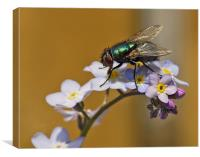 Greenbottle on Forget Me Not, Canvas Print
