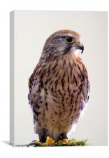 Kestrel (Falco tinnunculus), Canvas Print
