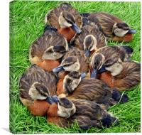 White faced whistling ducks, Canvas Print