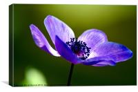 Blue Poppy, Canvas Print